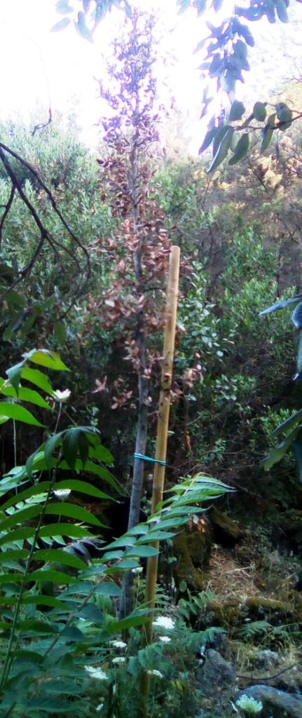 Ischia: alberi secchi nella pineta Mirtina