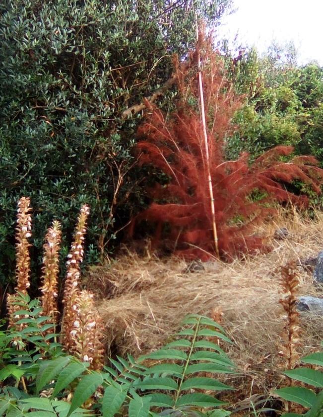 Alberi secchi nella pineta Mirtina di Ischia