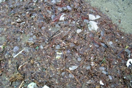 Meduse spiaggiate d'inverno (1111)
