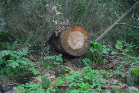 Scempi alberi pinete ischia genn 2015 (22)