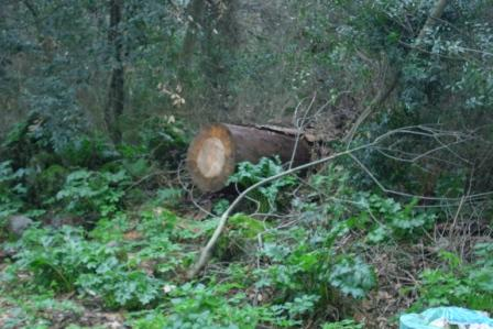Scempi alberi pinete ischia genn 2015 (23)