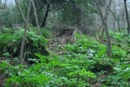Scempi alberi pinete ischia genn 2015 (25)