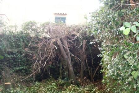 Scempi alberi pinete ischia genn 2015 (30)