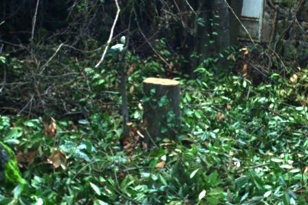 Scempi alberi pinete ischia genn 2015 (32)